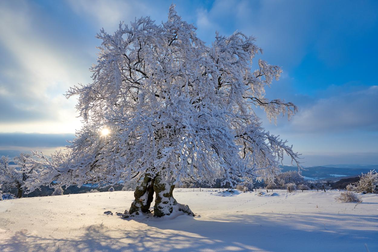 Hutebuche im Schnee