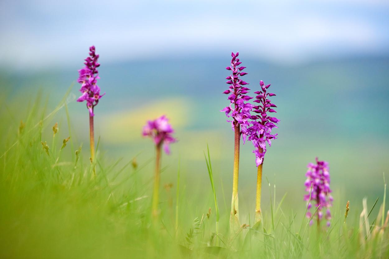 Orchideen in Thüringen